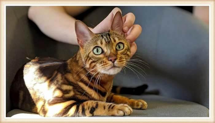 gato atigrado recibiendo caricias