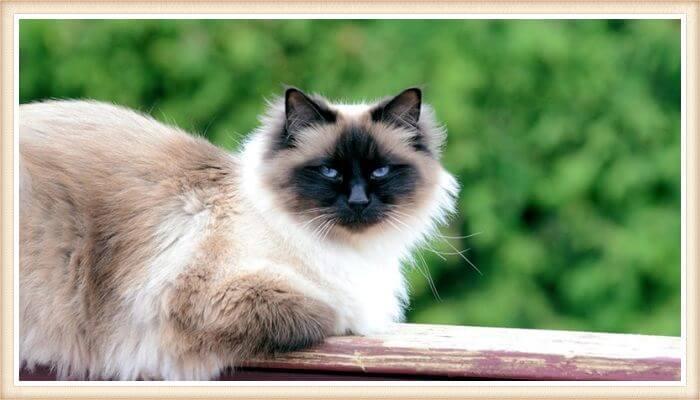 hermoso gato birmano descansando sobre muro