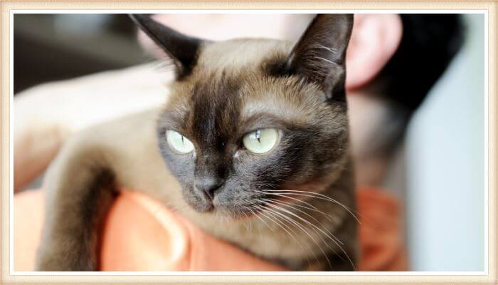 gato burmés en el hombro de su dueño