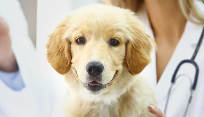 cachorro joven de color crema en la mesa del veterinario