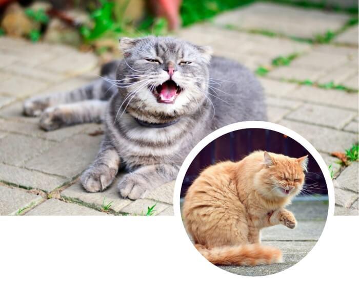 gato gris con la boca abierta a punto de estornudar