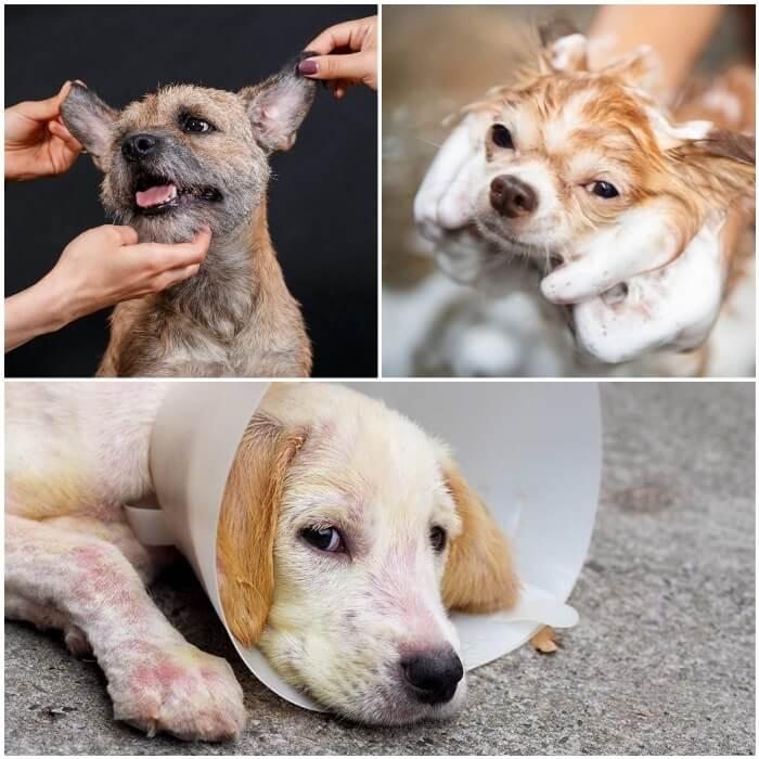 perro con sarna en todo el cuerpo usando un collar isabelino