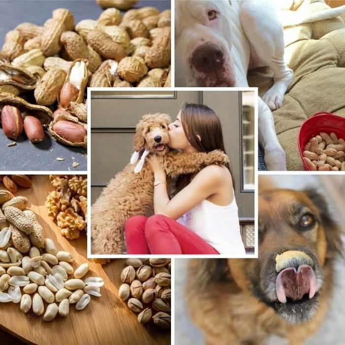 perro con mantequilla de maní en el hocico lamiéndose