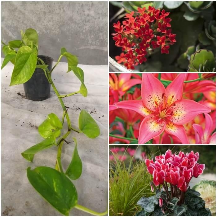 plantas ornamentales que envenenan gatos