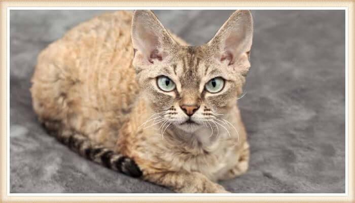 gato devon rex de ojos verdes mirando fijamente