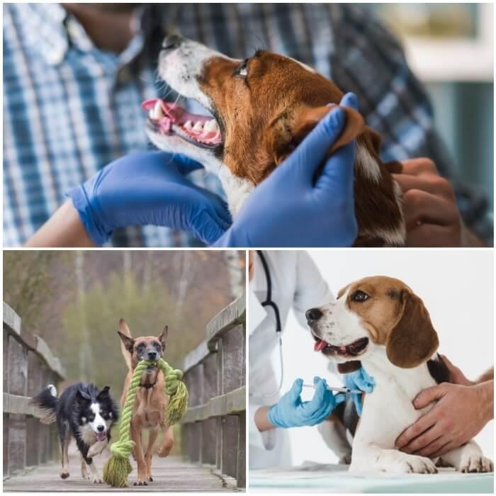 perro recibiendo vacuna en el veterinario
