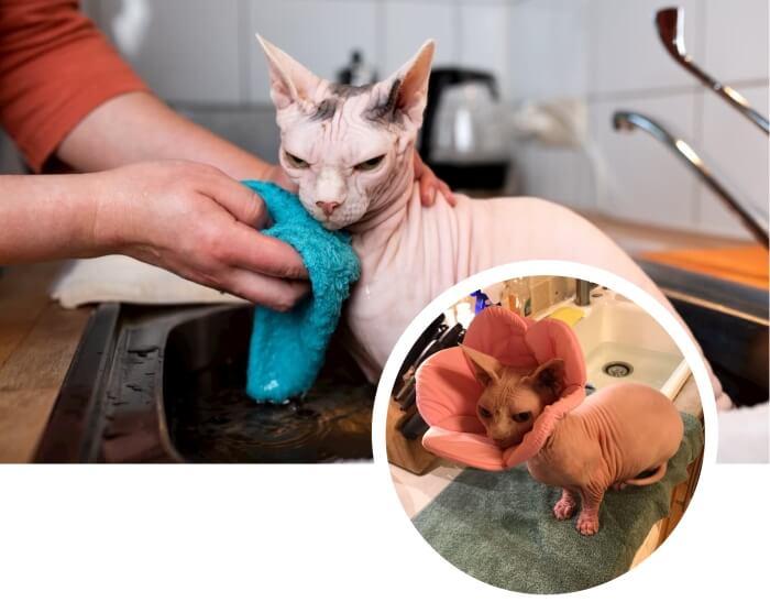 gato esfinge con collar protector durante el baño