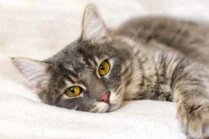 gato acostado con mirada triste