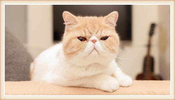 gato de nariz corta y cabeza redonda