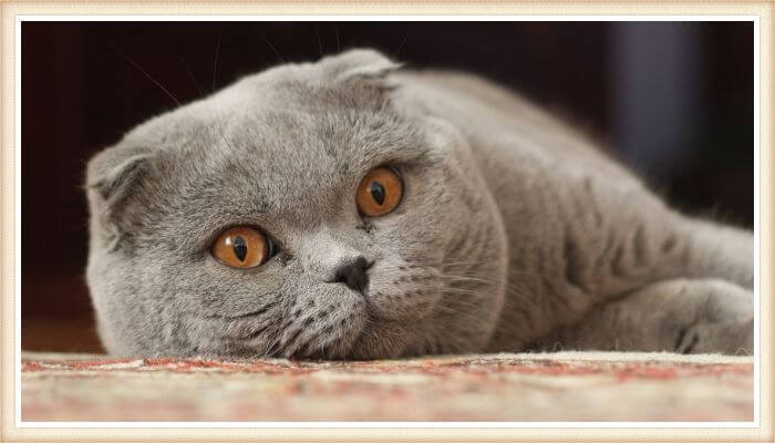 gato fold escocés acostado y mirando fijamente