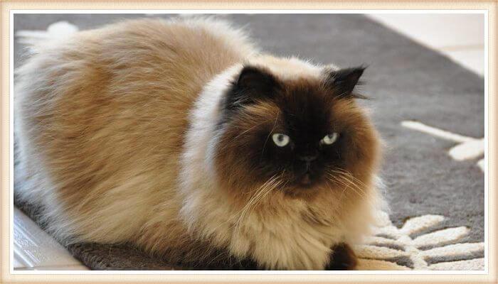 gato himalayo peludo agazapado sobre alfombra