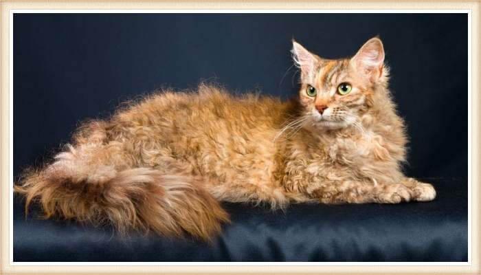 exótico gato de pelo muy mullido y rizado