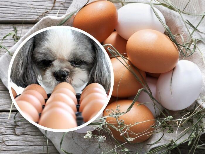 perro blanco y gris mirando un cartón de huevos