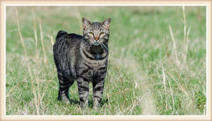 gato manx caminando al aire libre sobre hierba