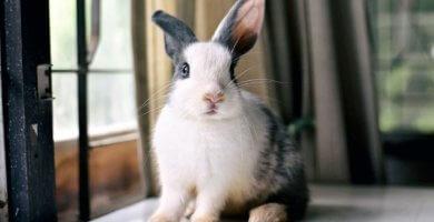 conejo tricolor sentado junto a la ventana
