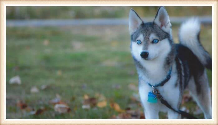 alaskan klee kei de ojos muy azules atado con correa