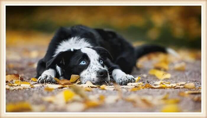 border collie de ojos azules impresionantes echado sobre hojas secas