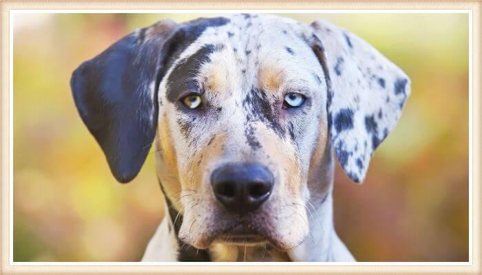 perro catahoula con un ojo azul y otro combinado