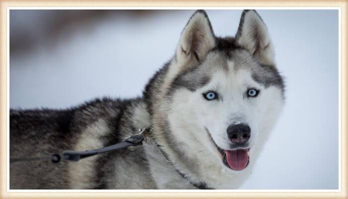 hermoso husky siberiano de ojos azules en paisaje invernal