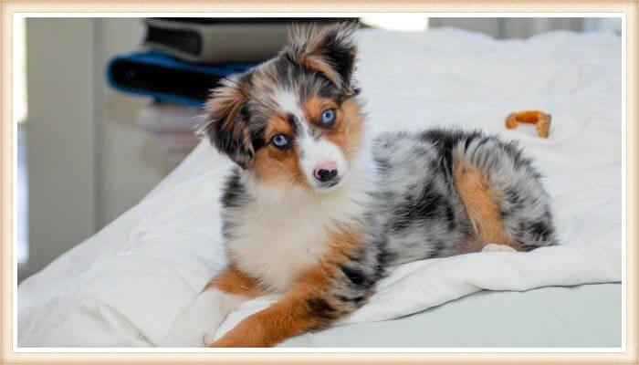 cachorro pastor australiano merle de ojos color azul cielo