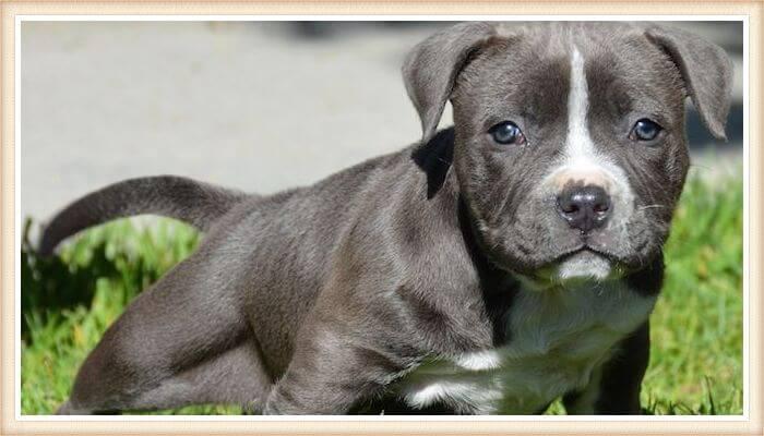 cachorrito pitbull de pelaje gris y ojos azules oscuros