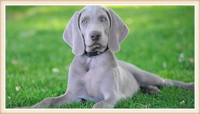 exuberante perro weimaraner de ojos azules echado sobre la hierba