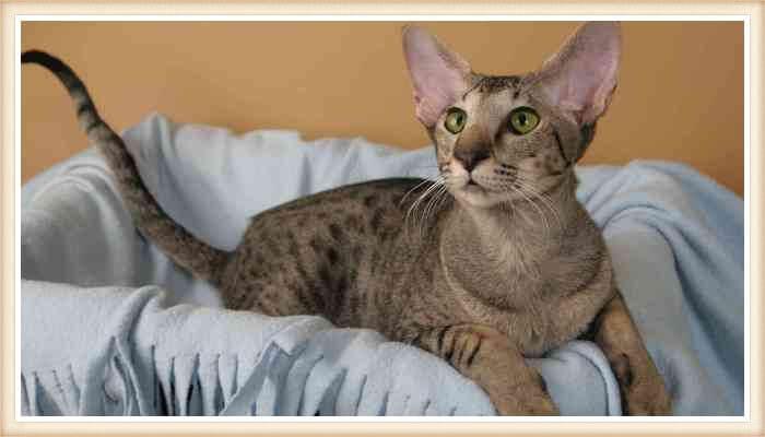 gato de orejas muy grandes acostado en cesta
