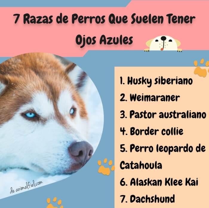 imagen-diseño razas de perros con ojos azules