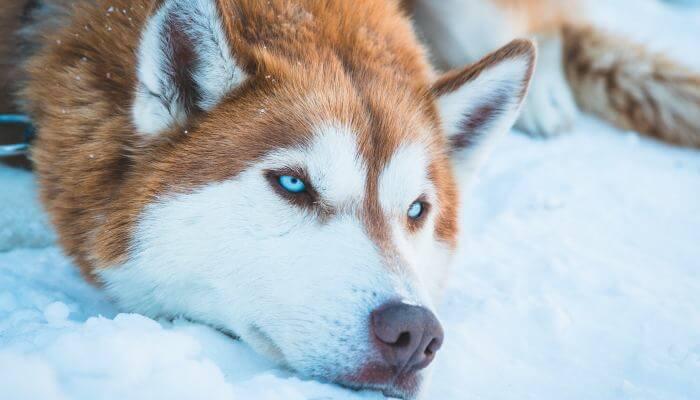 perro siberiano con ojos azules intensos