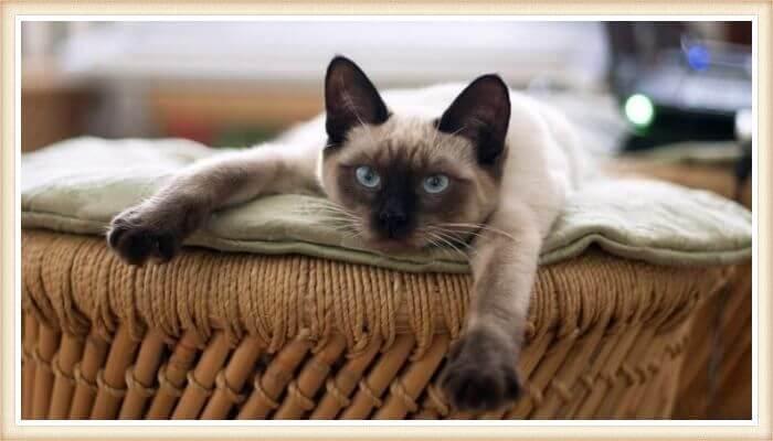 gato siamés acostado boca abajo con patas estiradas