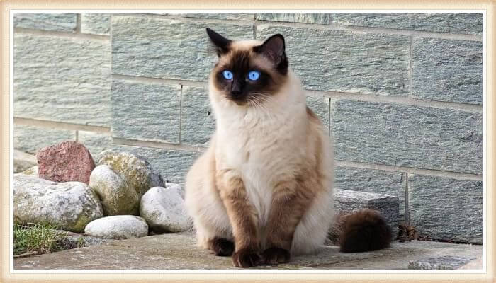 hermoso gato siamés de ojos azules impresionantes