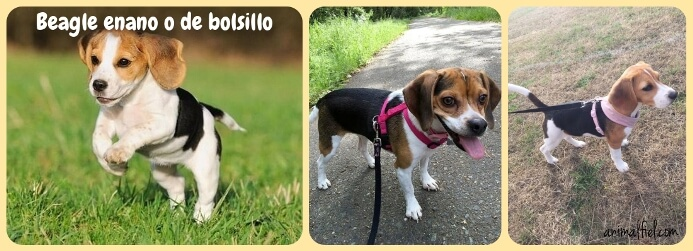 beagle de bolsillo paseando con correa