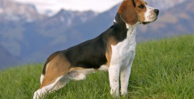 hermoso beagle erguido sobre el pasto
