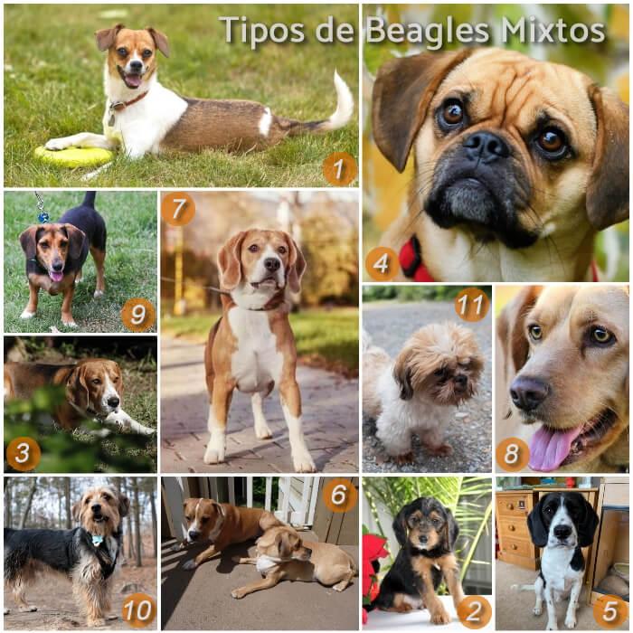 imagen collage con diferentes beagles mixtos