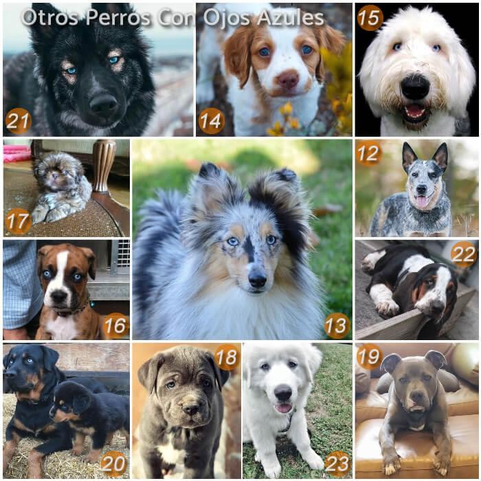 imagen collage con perros de ojos azules