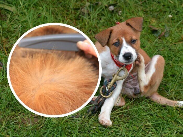 perro con picazón echado sobre la hierba