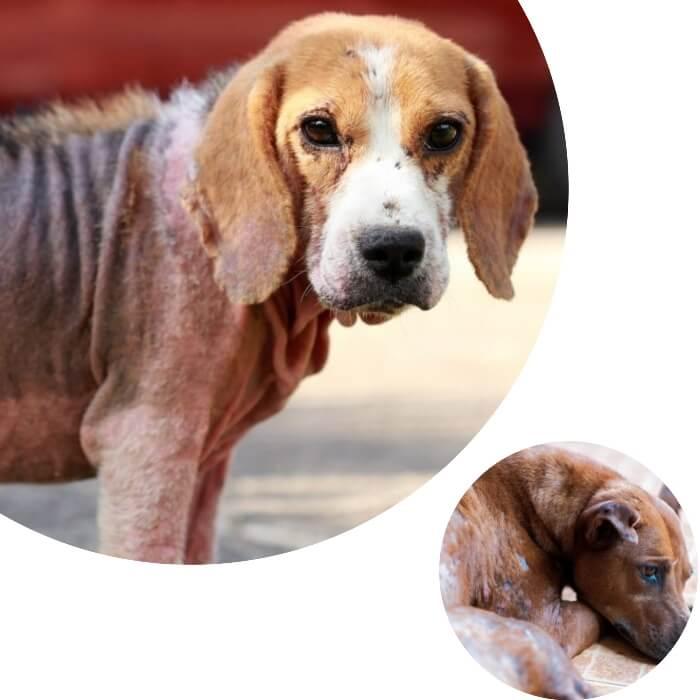 perro con sarna que ha perdido todo su pelaje
