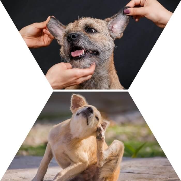 perro con sarna en el borde de las orejas