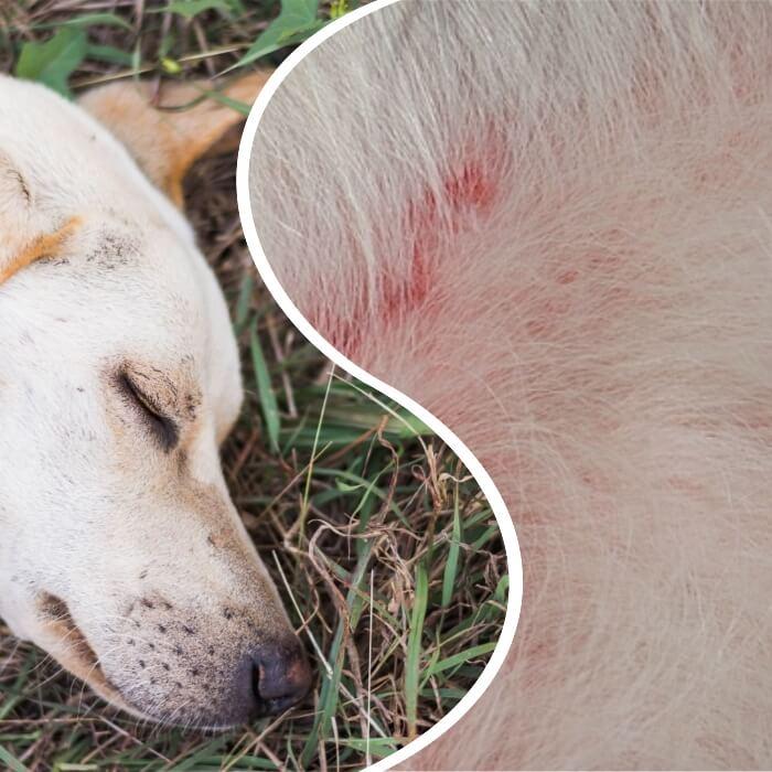 perro blanco con enrojecimiento en la piel