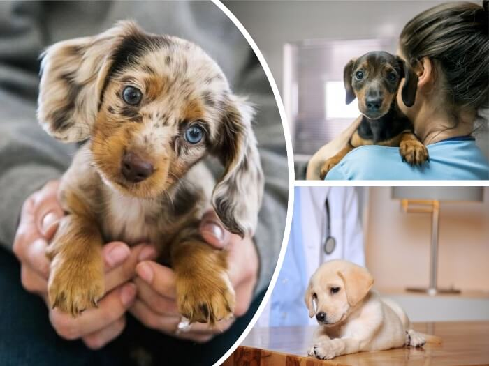 cachorrito merle con ojos azules en manos de su dueña